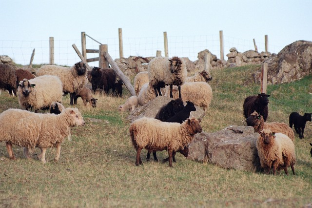 Olivers Coloured Sheep 006
