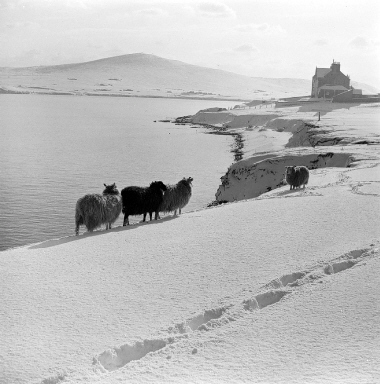 Sheep Grazing in the Snow, 1953