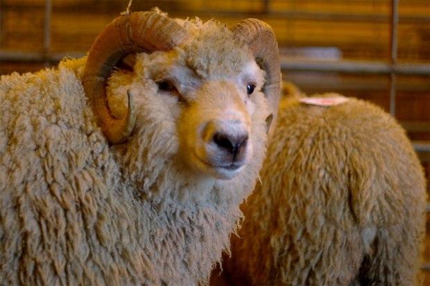 future_wool
