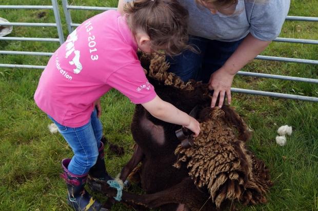 Keiva clipping a moorit sheep