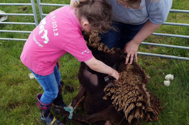 Keiva clipping a moorit sheep