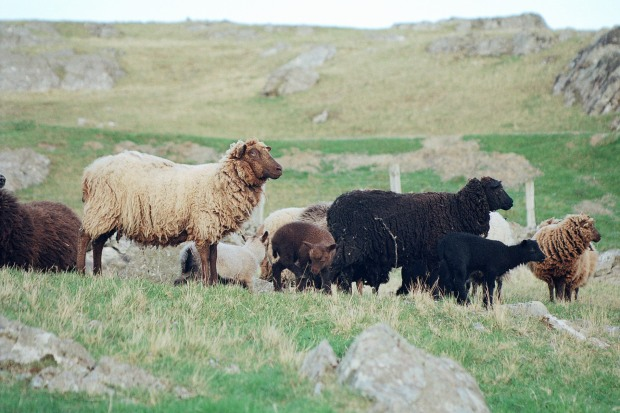 Olivers Coloured Sheep 023