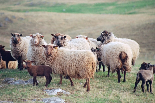 Olivers Coloured Sheep 025